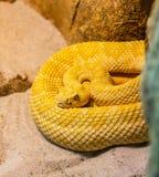 Serpiente amarilla venenosa en la posición de ataque imagen de archivo libre de regalías
