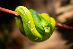 Serpiente amarilla verde fotografía de archivo
