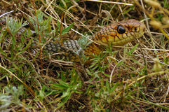 serpiente Amarillo-hinchada Imagen de archivo