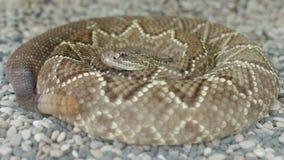 Serpiente americana media del traqueteo o simus centroamericano de la serpiente o del crotalus del traqueteo Imagen de archivo