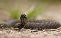 Serpiente antes del ataque Fotografía de archivo libre de regalías