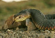 Serpiente australiana del copperhead Foto de archivo libre de regalías