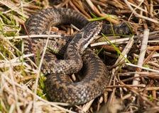 Serpiente (berus del Vipera) Foto de archivo