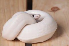 Serpiente blanca del pitón de la bola Imágenes de archivo libres de regalías