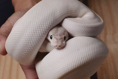 Serpiente blanca del pitón de la bola Foto de archivo