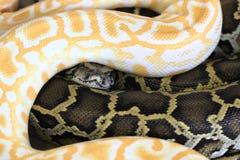 Serpiente blanco y negro Fotografía de archivo