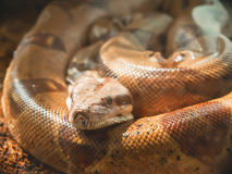 Serpiente, boa moustached foto de archivo
