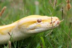 Serpiente Burmese del pitón fotografía de archivo