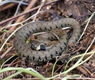 Serpiente común imágenes de archivo libres de regalías