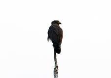 Serpiente con cresta Eagle imágenes de archivo libres de regalías
