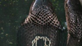 Serpiente con monóculo negra de la cobra en agua almacen de metraje de vídeo