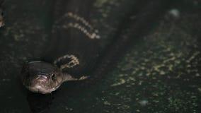 Serpiente con monóculo negra de la cobra en agua metrajes