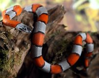 Serpiente coralina Imagen de archivo
