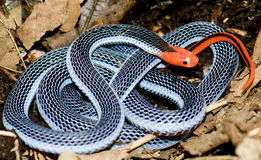 Serpiente coralina azul Imagen de archivo