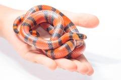 Serpiente coralina del flase del Honduran Imagen de archivo
