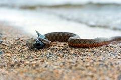 Serpiente de agua Fotografía de archivo libre de regalías