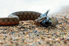 Serpiente de agua Fotos de archivo libres de regalías
