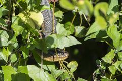 Serpiente de agua de Brown Imagen de archivo libre de regalías