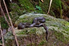 Serpiente de agua de Bocourt's en la roca Fotografía de archivo libre de regalías