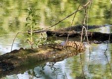 Serpiente de agua de Diamondbacked que toma el sol en sol foto de archivo libre de regalías