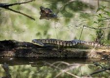 Serpiente de agua de Diamondbacked que toma el sol en sol Imagenes de archivo