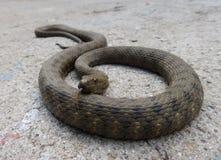 Serpiente de agua en el cemento Fotografía de archivo libre de regalías