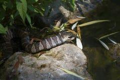 Serpiente de agua norteña Foto de archivo libre de regalías