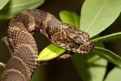 Serpiente de agua norteña (sipedon del nerodia) Imagen de archivo