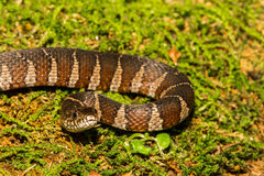 Serpiente de agua septentrional Imagenes de archivo