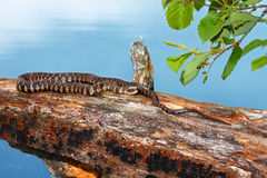 Serpiente de agua septentrional Northwoods Wisconsin Imagenes de archivo