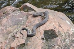 Serpiente de agua septentrional que toma el sol en a orillas del lago una roca foto de archivo
