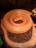Serpiente de Albino Snake/de hierba - Ringelnatter imágenes de archivo libres de regalías