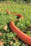 Serpiente de Albino Snake/de hierba - Ringelnatter imagenes de archivo