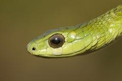 Serpiente de Boomslang Fotografía de archivo