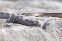 Serpiente de Brown Fotografía de archivo