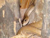 Serpiente de Brown Bush Foto de archivo