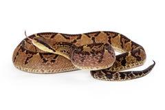 Serpiente de Bushmaster del Central American con la lengua hacia fuera Fotografía de archivo