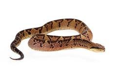Serpiente de Bushmaster del Central American que mira al lado Foto de archivo
