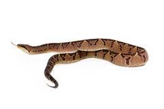 Serpiente de Bushmaster del Central American que separa Imágenes de archivo libres de regalías