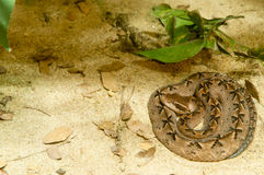 Serpiente de Calloselasma Fotos de archivo libres de regalías