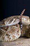 Serpiente de cascabel Foto de archivo libre de regalías