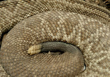 Serpiente de cascabel Fotos de archivo libres de regalías