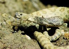 Serpiente de cascabel Fotografía de archivo libre de regalías