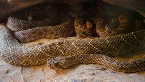 Serpiente de cascabel, atrox del Crotalus Fotos de archivo