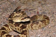 Serpiente de cascabel de Blacktail imagenes de archivo