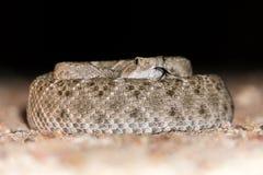 Serpiente de cascabel de Diamondback en espiral con la lengua hacia fuera Imagenes de archivo