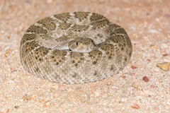 Serpiente de cascabel de Diamondback en espiral en salvaje Fotos de archivo libres de regalías