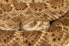 Serpiente de cascabel de Diamondback occidental Foto de archivo libre de regalías
