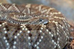 Serpiente de cascabel de Diamondback occidental Imagen de archivo libre de regalías