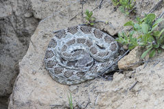 Serpiente de cascabel de Diamondback occidental Foto de archivo libre de regalías